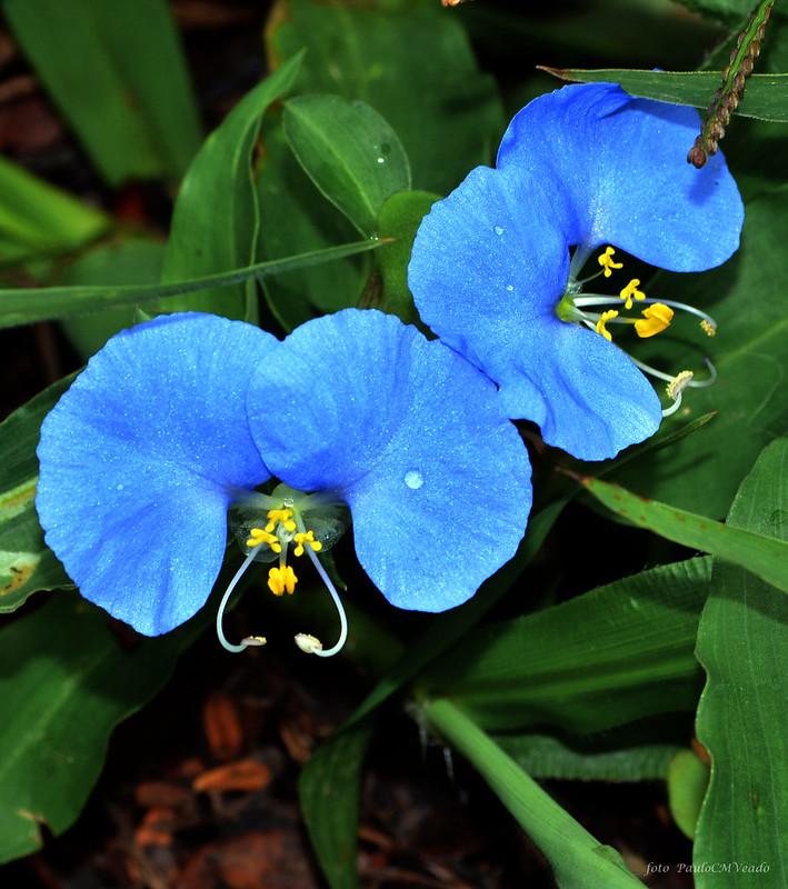 Orquideas-Azuis