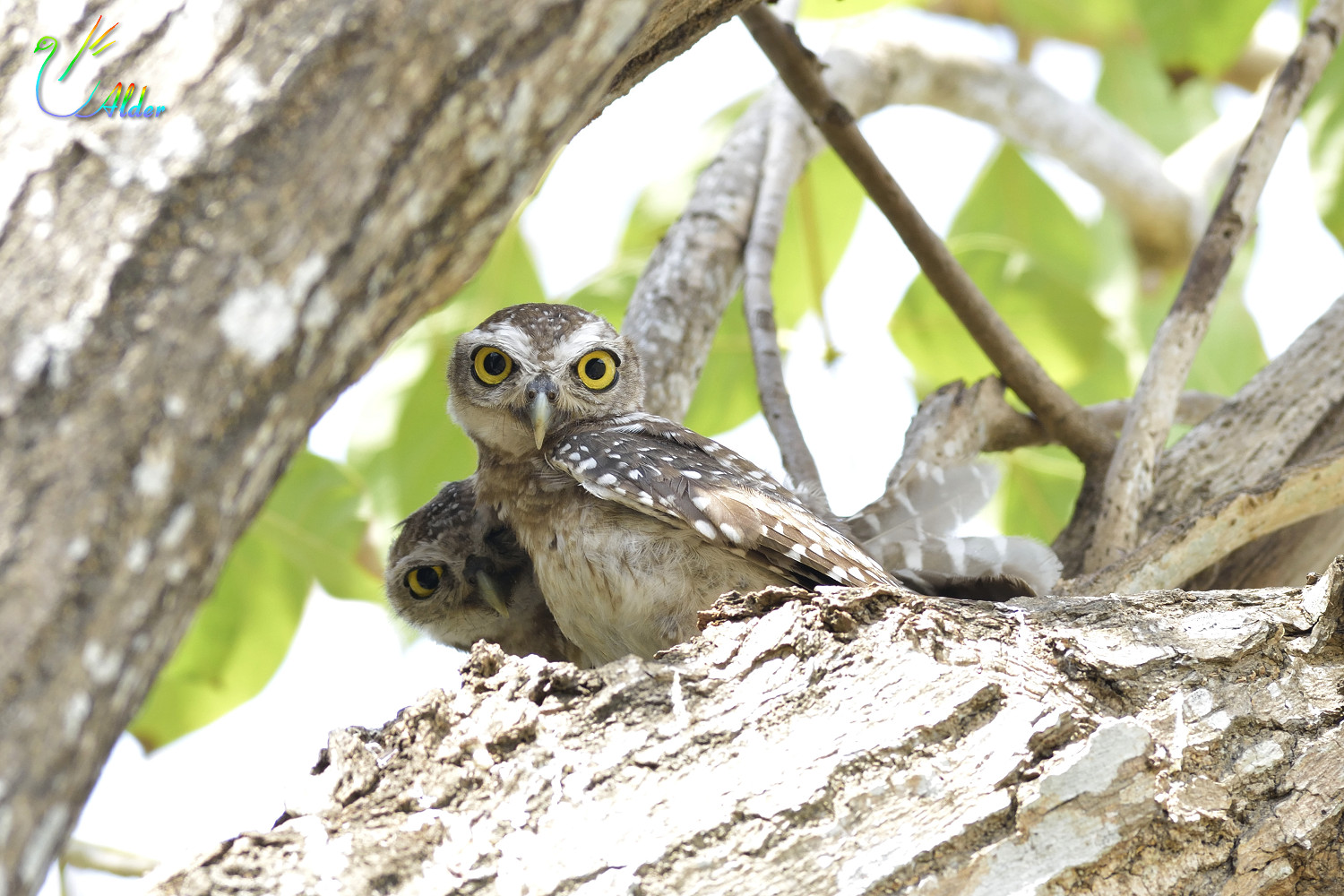 Spotted_Owlet_7078