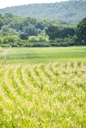 Logan County Corn Fields