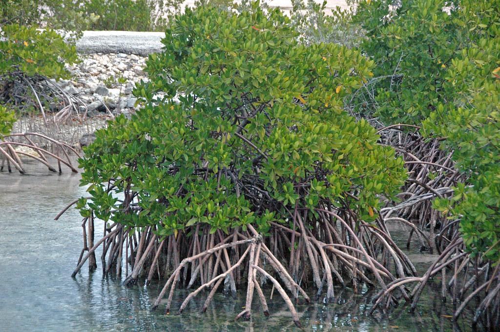 Rote >> Rhizophora mangle (red mangrove) (San Salvador Island, Bah… | Flickr