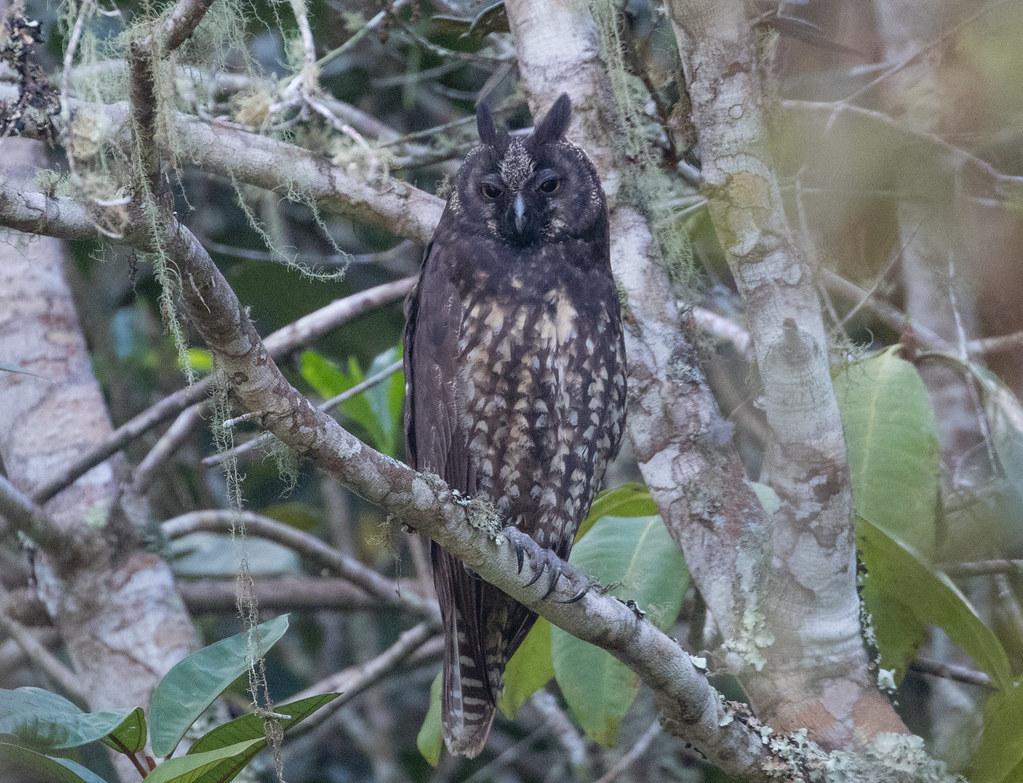 Stygian Owl