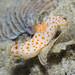 IMG_6128 Gymnodoris sp.