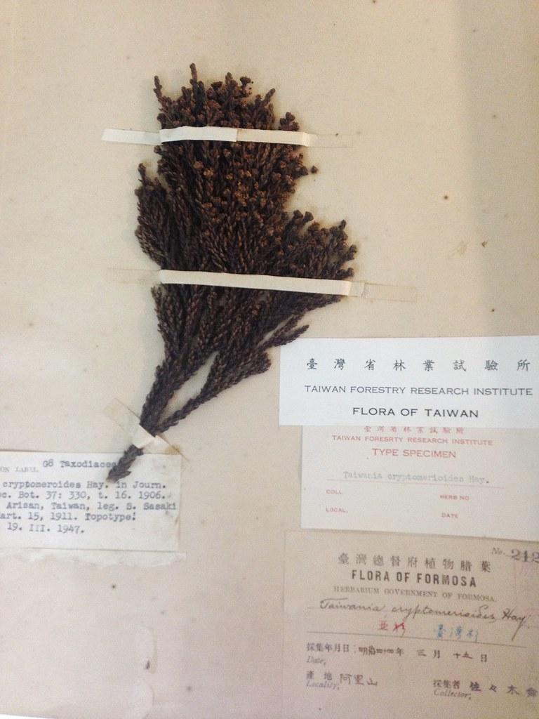 台灣杉模式標本。攝影:廖靜蕙
