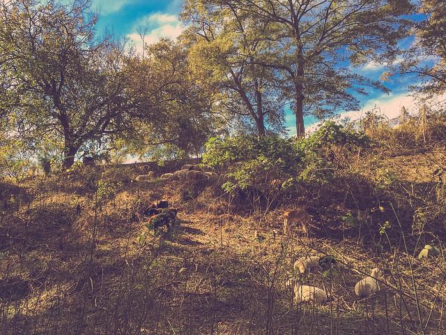 """Sheep Clearing Kudzu"" by Lee Coursey shows a herd of sheep grazing on kudzu on a hillside."