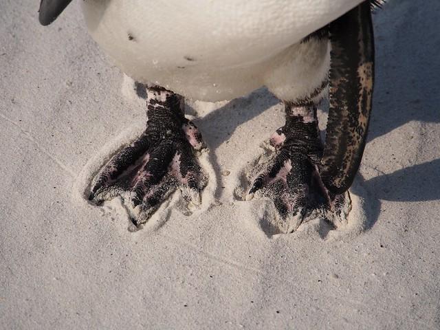 Penguins afoot