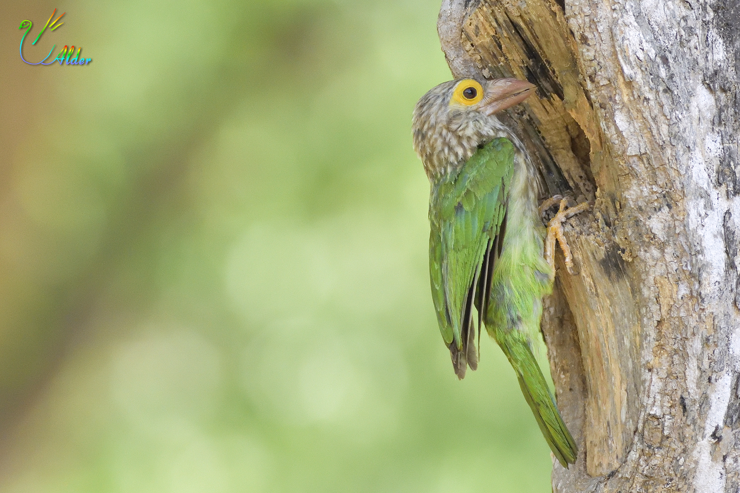 Lineated_Barbet_7140