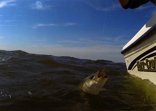 Photo of striped bass being caught from a boat