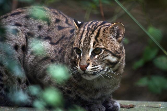 Le chat pêche qui vit en Asie du sud-est est une espèce en danger d'extinction et le seul chat habilité à manger un régime riche en poissons.