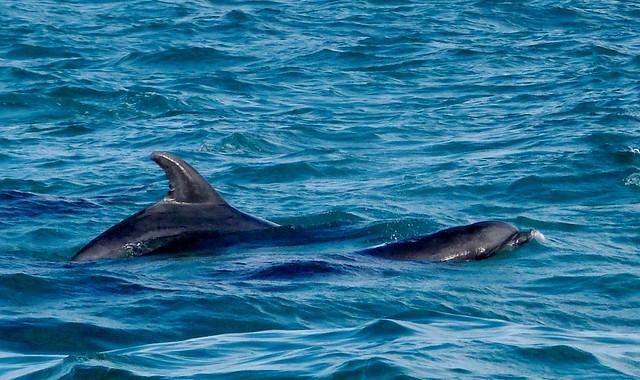 Delfines en el estuario del río Sado (Alentejo)