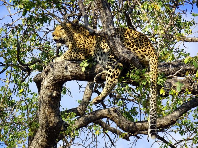Lion Sands Safari Day 3- Leopard-001
