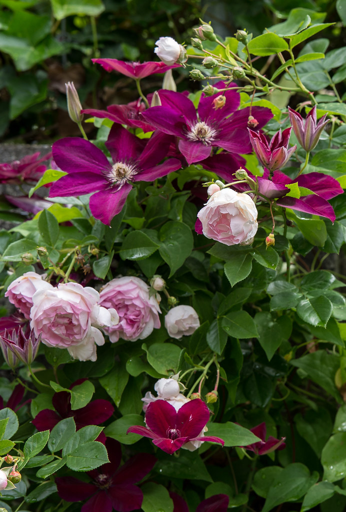 climbing rose giardina with clematis westerplatte and flickr. Black Bedroom Furniture Sets. Home Design Ideas