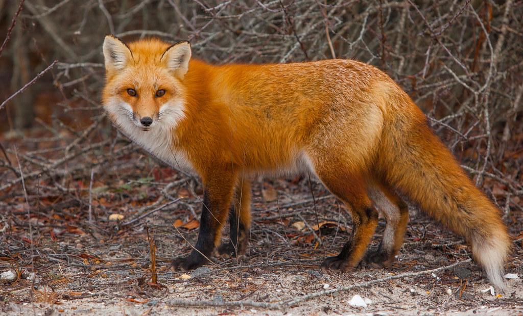 White Fox Acrylic Painting