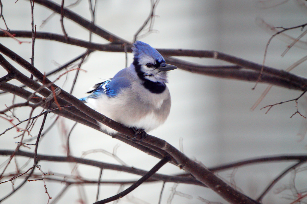 Blue Jay Like In Golf When You Are Ready To Quit One