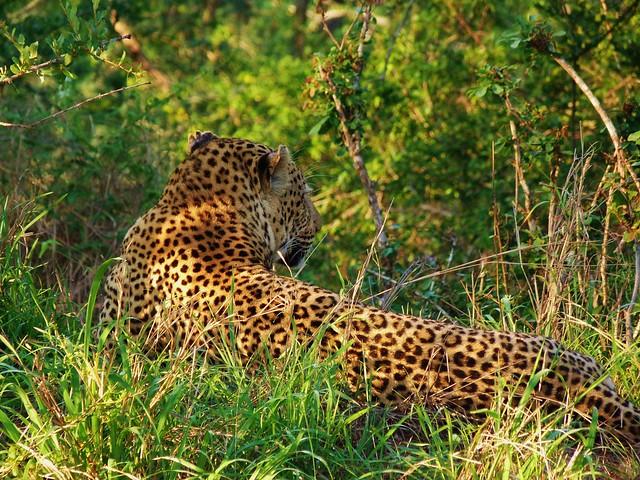 Leopardo fotografiado en el Kruger