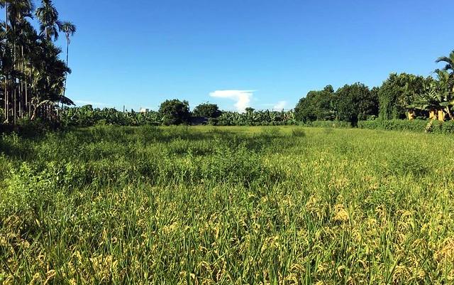 滿是雜草的自然農法田,引來親友鄰居議論。圖片來源:劉晉坤