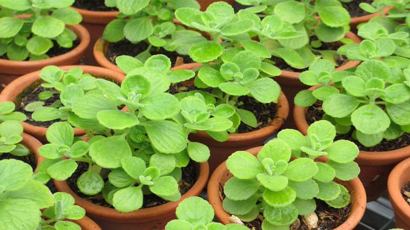 caysenda.com | sen da | xuong rong | tieu canh sen da | art plant | terrarium | ngoc bich