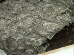 nido di calabrone