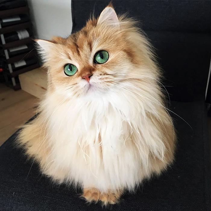 Британский длинношерстный кот, по имени Смузи с изумрудными глазёнками - ПоЗиТиФфЧиК - сайт позитивного настроения!