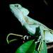 Serrated Casquehead iguana (Laemanctus serratus)_1