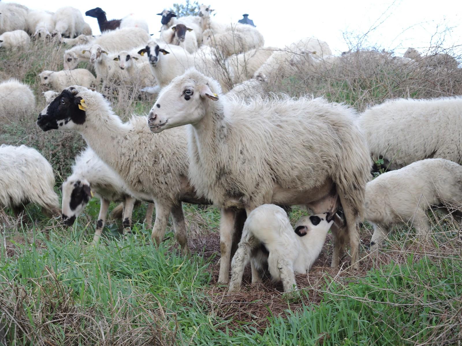 Cunda-sheep and lambs   by ustung