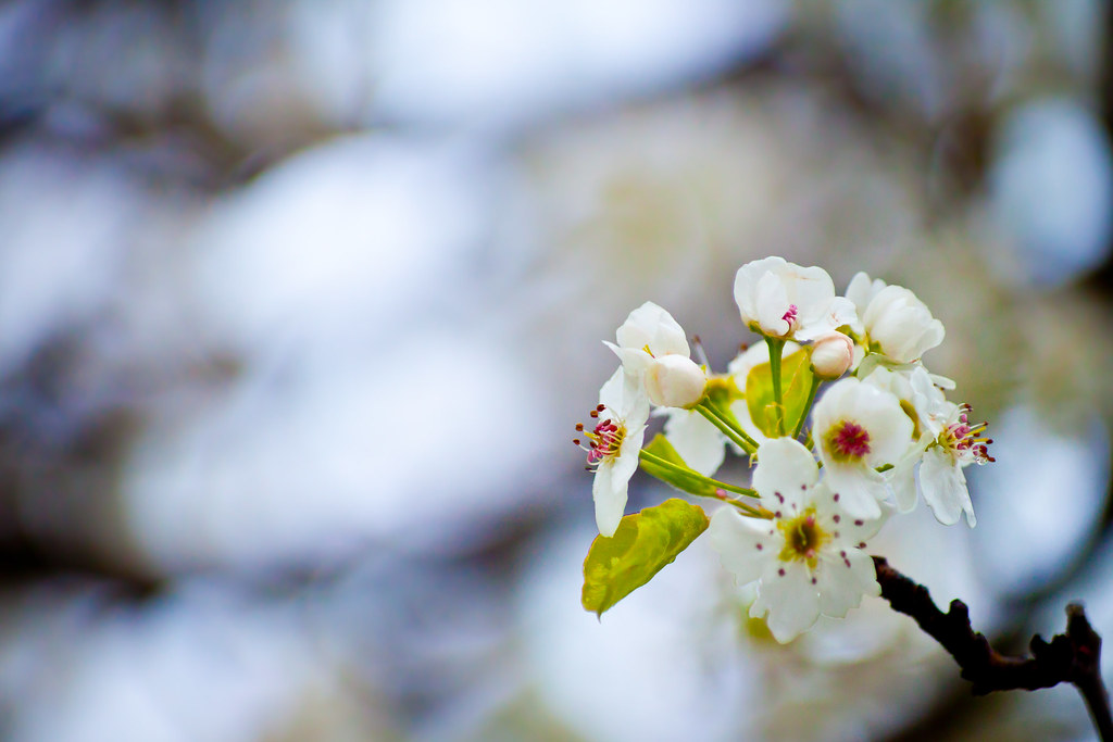 Pear Bloom