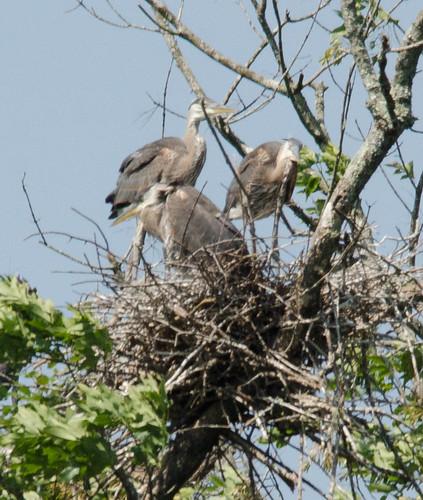 Heron Rookery at Lake Connestee-007