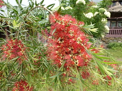 Flowers of red brush tree in Nepal