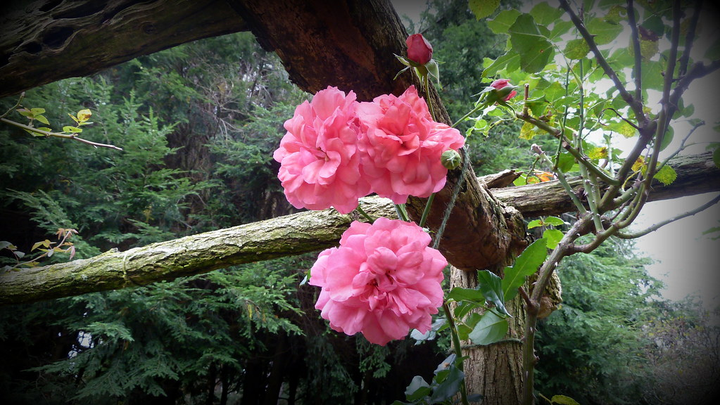 climbing rose 39 rosarium uetersen 39 climbs the arbor in the. Black Bedroom Furniture Sets. Home Design Ideas