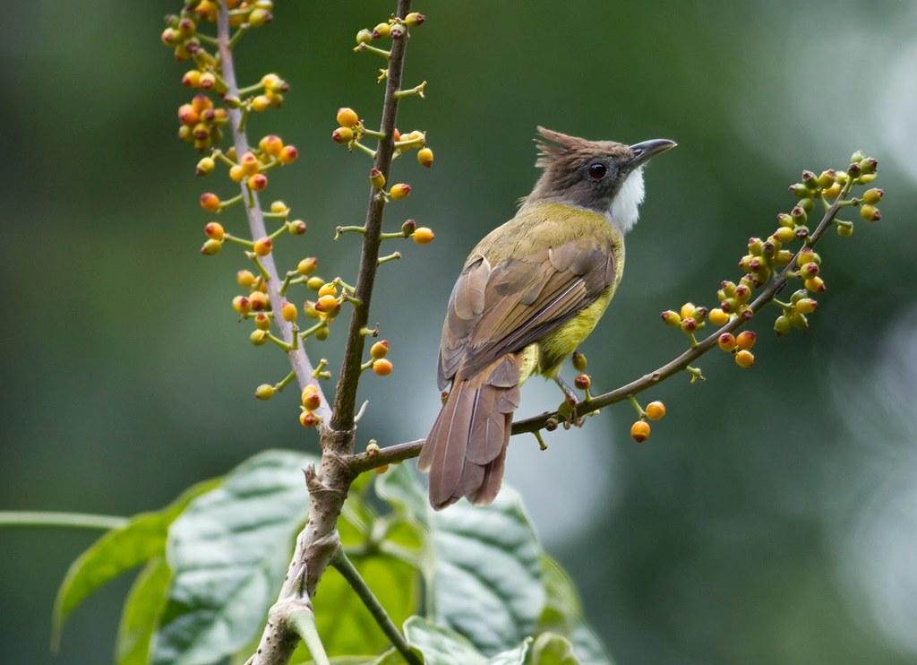 Suara Cucak Jenggot Full Isian Masteran Burung dan Pikat