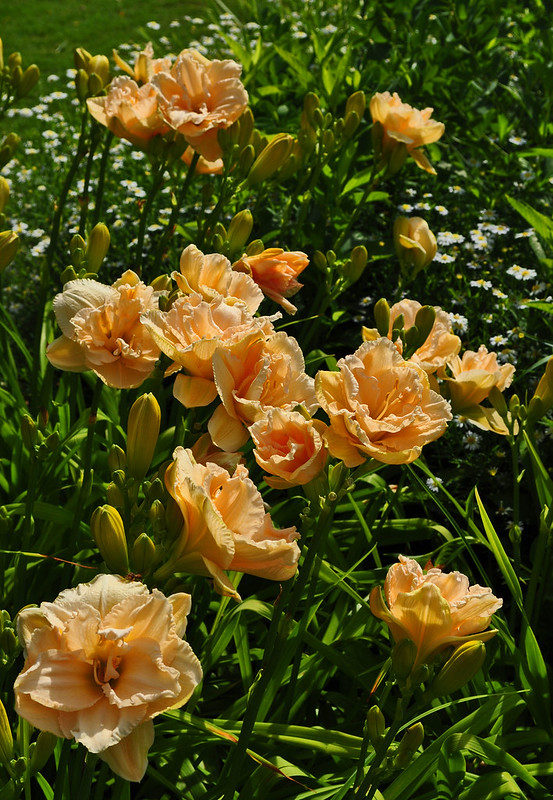 Hemerocallis 'Land of Cotton'