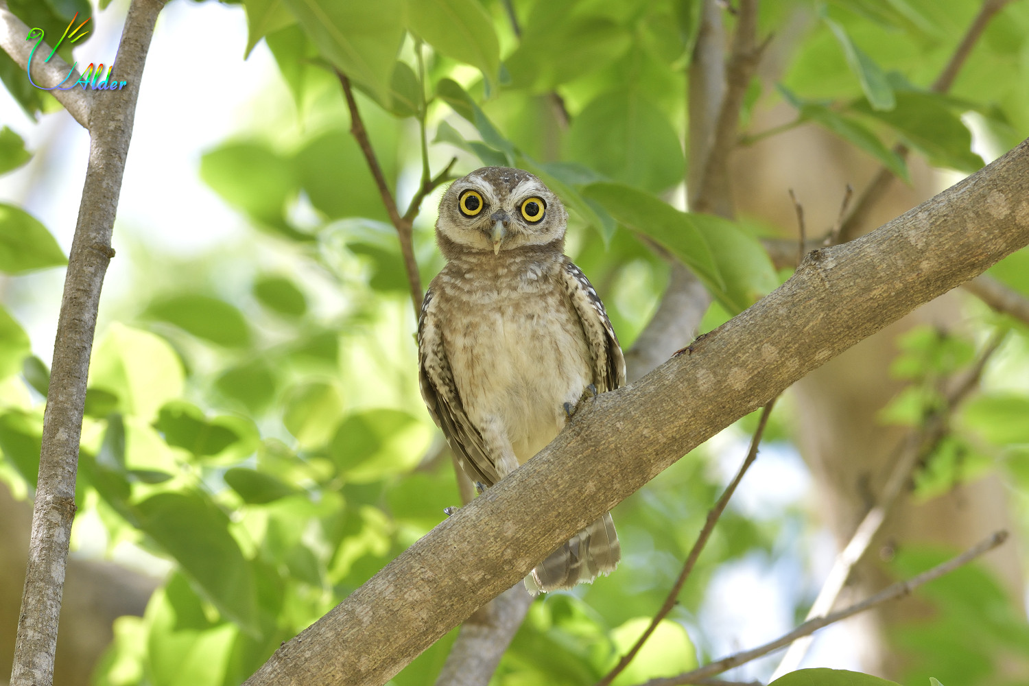Spotted_Owlet_4401