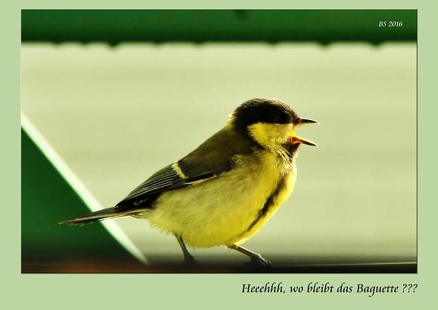 Regentag an der Loire - Vögel füttern - Kohlmeisen (mésanges charbonnières) - Fotos: Brigitte Stolle 2016