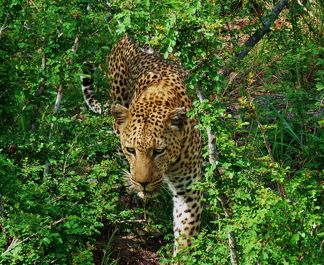 Leopardo fotografiado en el Parque Kruger de Sudáfrica