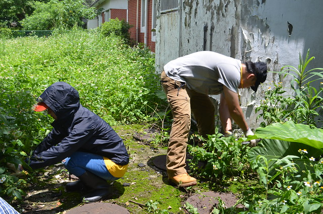 志工努力清除庭園中大花咸豐草