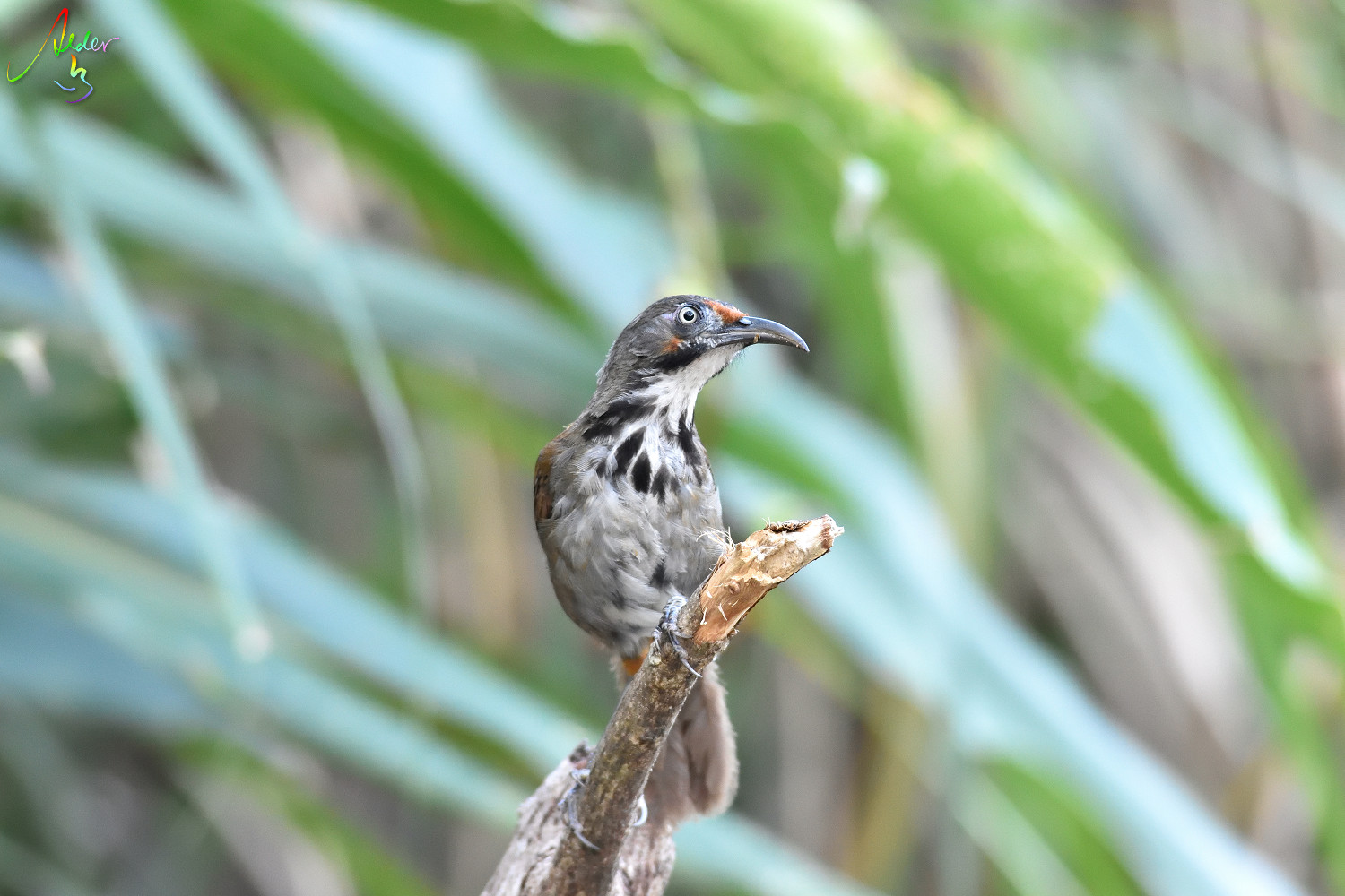 Rusty-cheeked_Scimitar_Babbler_4947