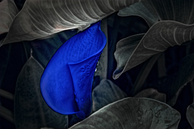 blue calla lily a beautiful royal blue calla lily by. Black Bedroom Furniture Sets. Home Design Ideas