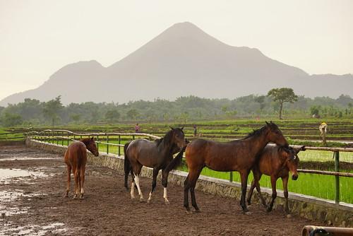 Sekolah kepribadian kuda di Surabaya...