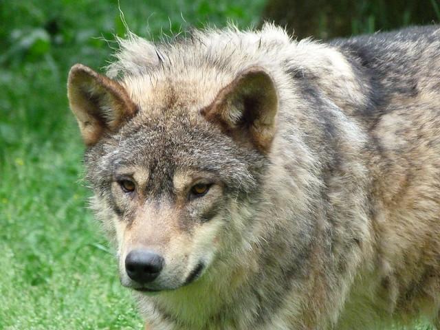 Lobo europeo en el Parque de Animales de Han-sur-Lesse (Valonia, Bélgica)
