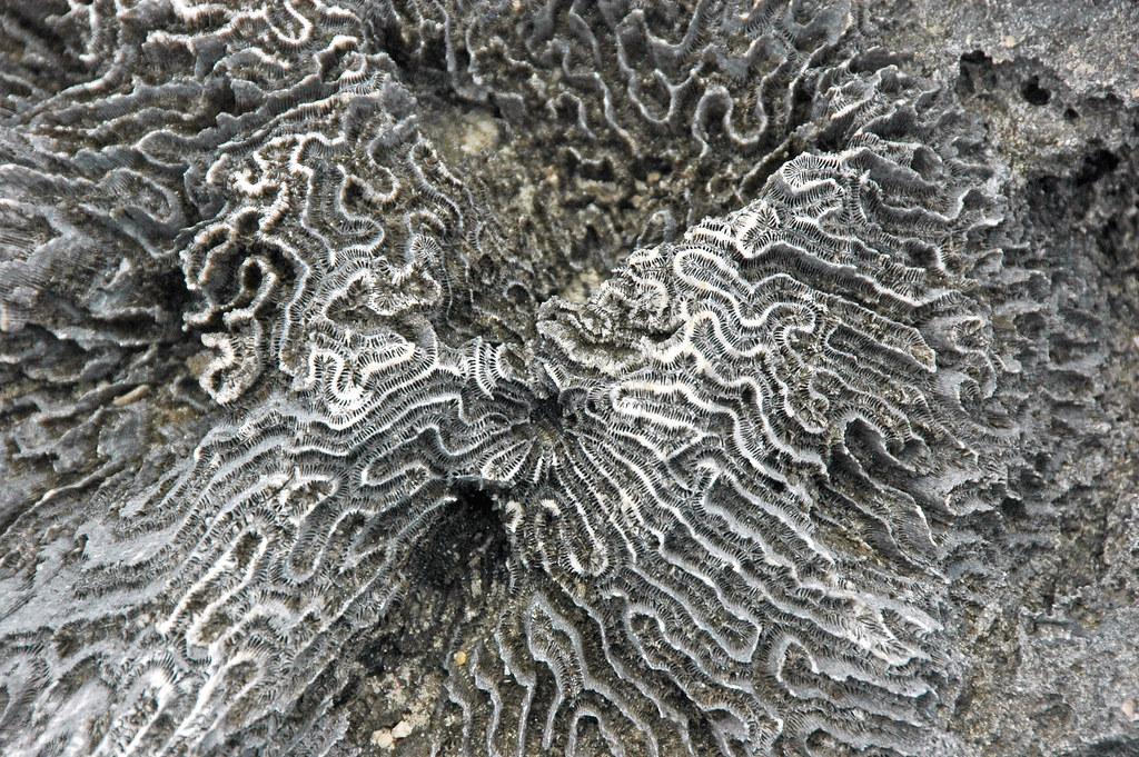 J And J Corals Diploria strigosa foss...
