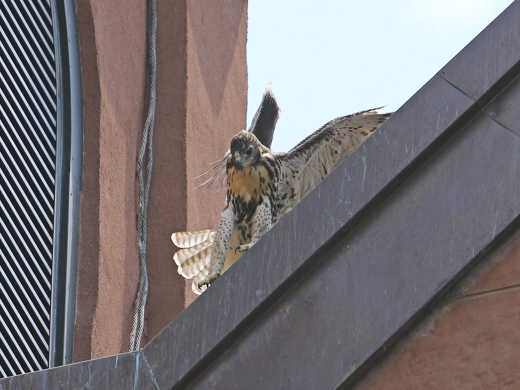 Tompkins Square fledgling #2