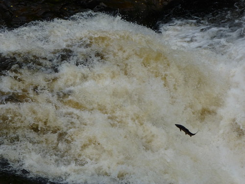 falls of shin with salmon leaping