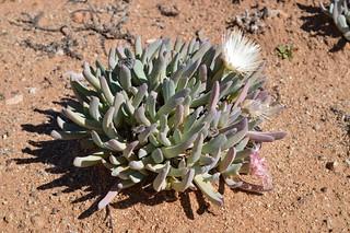 Cheiridopsis denticulata