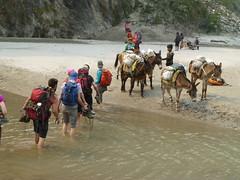 Muli encounter at the river