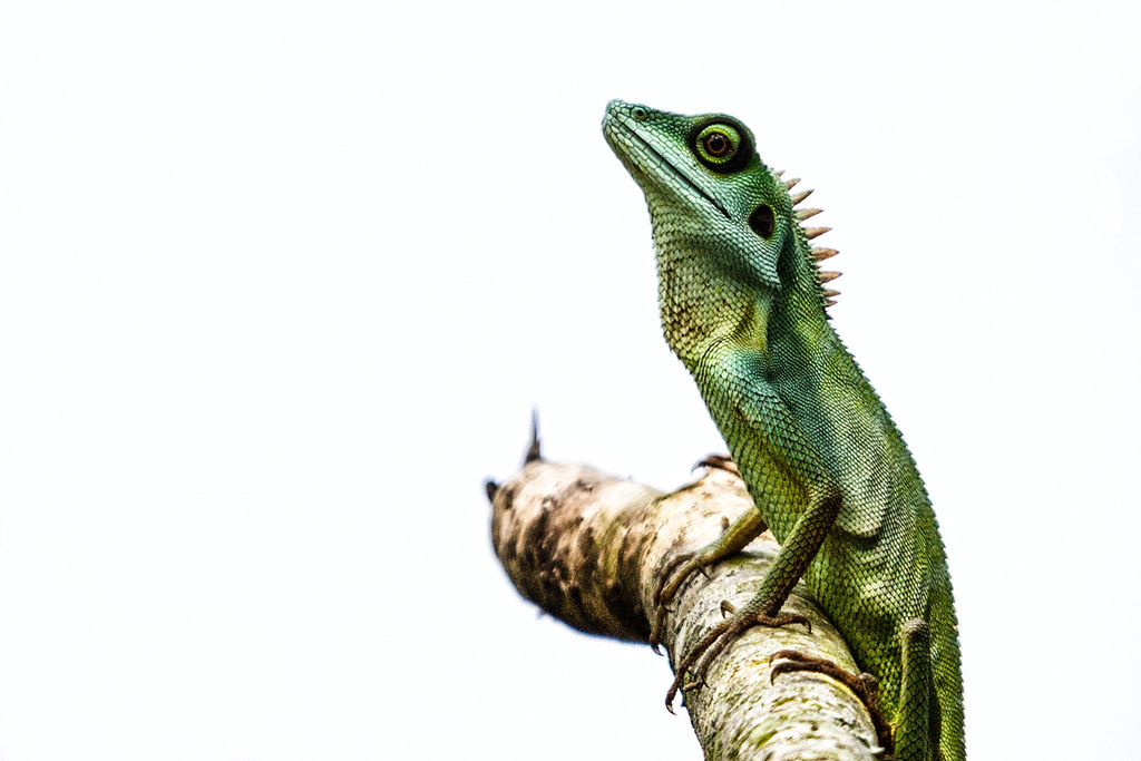 Green Crested Lizard | Green Crested Lizard | _paVan_ | Flickr