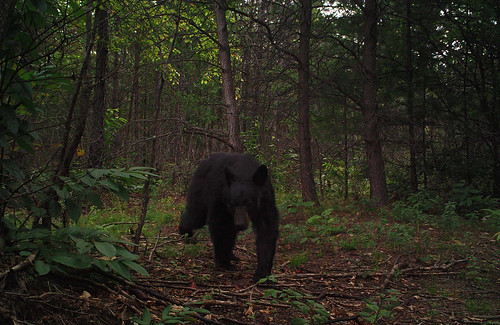 A young black bear in a forest