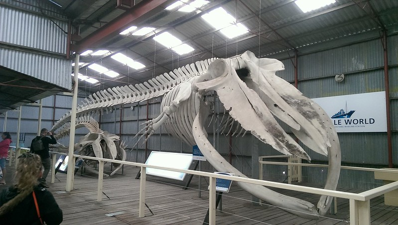 display of whale skeletons near Albany