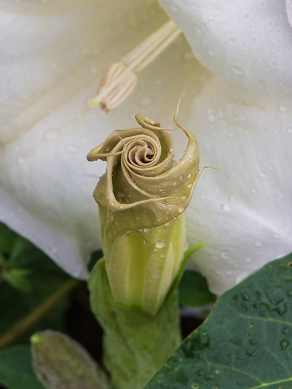 Sacred Datura flower bud