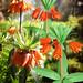 Origami Flower Garden. Frittilaria Imperialis