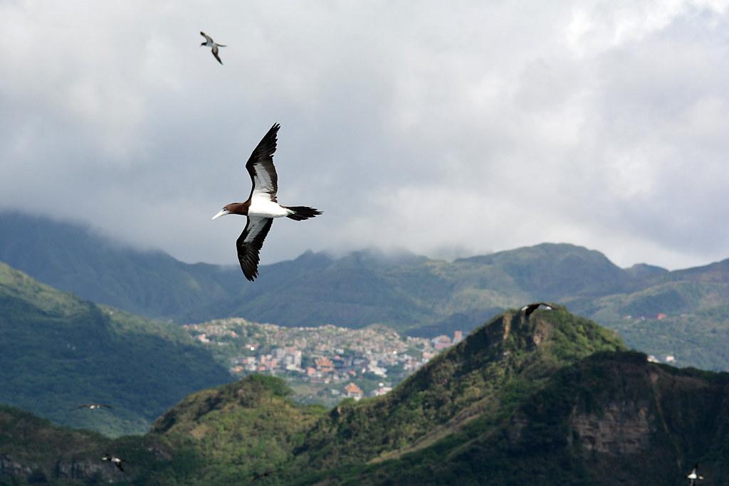 楊維晟作品 來訪八斗子的白腹鰹鳥