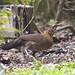 IMG_7037 red junglefowl